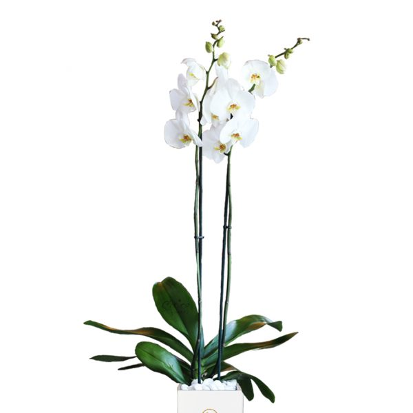 White Orchid Phalaenopsis plant in White Vase Zoom